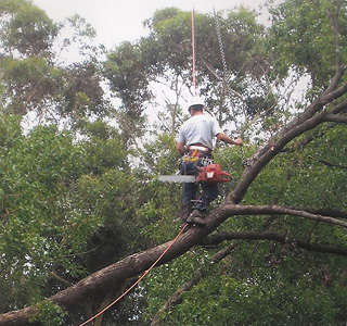 tree arborist north shore